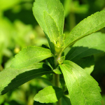 "A stevia plant, known as ""sweet herb"", o"